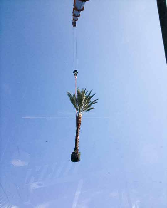 Crane placing palm tree
